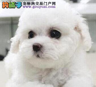 武汉售大眼睛甜美脸型比熊犬 棉花糖保健康签协议