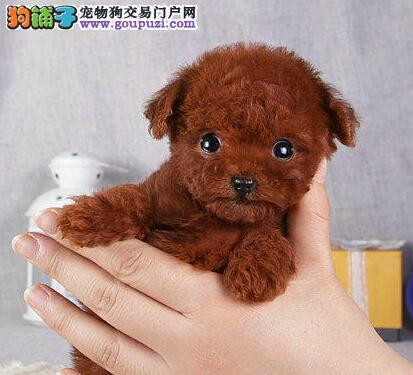 合肥出售纯种泰迪幼犬卷毛犬公狗幼犬