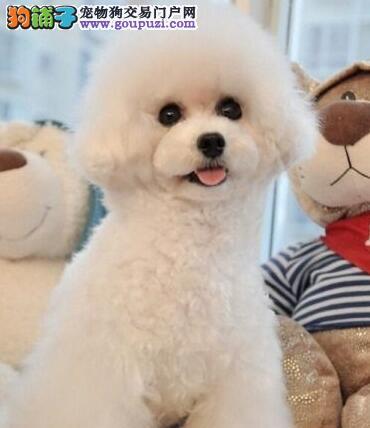 金华出售韩国进口泰迪犬茶杯小体泰迪犬 长不大