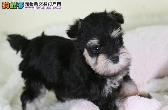 精品小迷你小雪纳瑞郑州找新家了 超级漂亮 包你喜欢图片