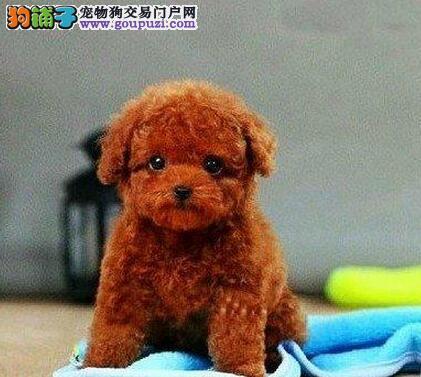 合肥专业犬舍热销进口泰迪犬 价格低廉欢迎大家购买
