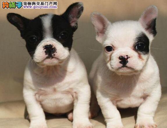 苏州高品质法国斗牛犬 赛级宠物级都有纯种健康包养活