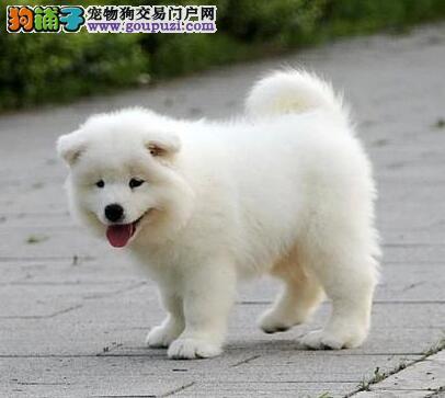 廊坊专业繁殖基地售顶级萨摩耶幼犬 健康纯种实地亲选
