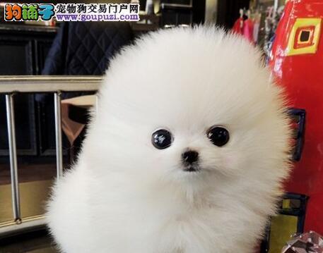 哈多利球形血系的博美犬火爆热销中 郑州朋友上门看狗
