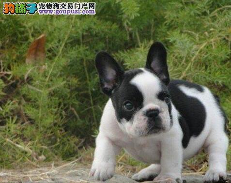 石家庄正规狗场出售高气质的斗牛犬 可随时视频看种犬