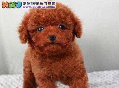石家庄自家繁殖的茶杯泰迪犬 希望大家上门选择爱犬