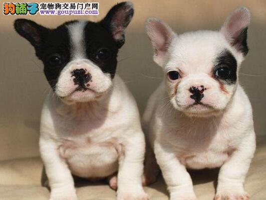 出售多只优秀的法国斗牛犬可上门国际血统证书