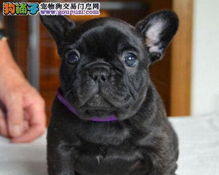 青岛出售精品法国斗牛犬 三年保证 每年两次免费治疗