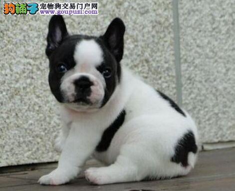 上海纯种法国斗牛犬宝宝 各色都有多只欢迎来场选购