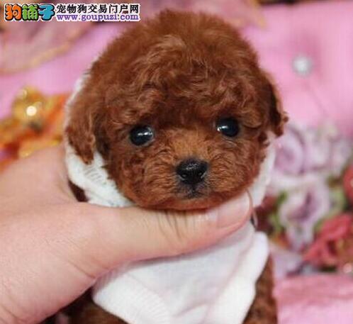 成都售纯种泰迪犬茶杯犬茶杯体贵妇贵宾犬幼犬