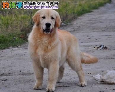 AKC京义犬业售纯血统美国枫叶系双冠赛级金毛健康质保