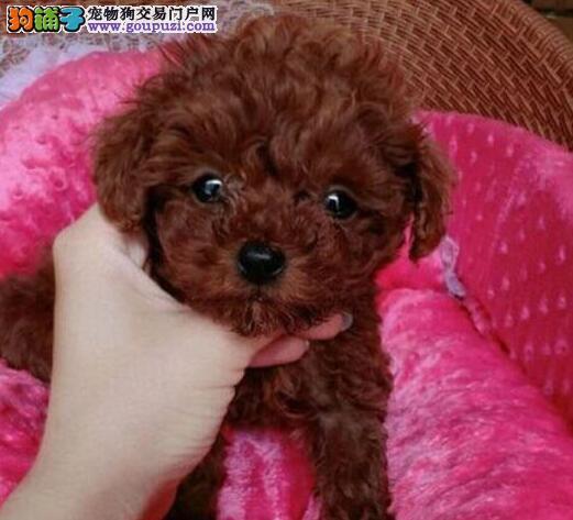济南本地养殖,极品泰迪幼犬,三月包换,三年包治