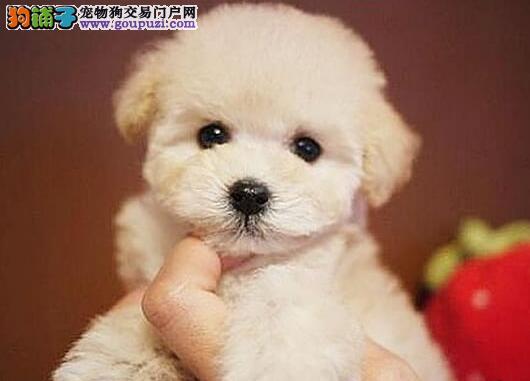 赛级品相攀枝花泰迪犬幼犬低价出售品质保障可全国送货