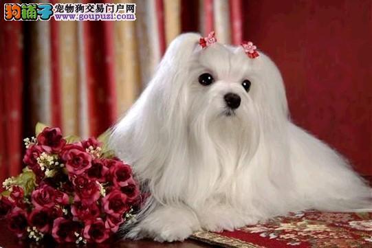 遂宁售娇小体型迷人气质马尔济斯犬 长毛无异味小型犬