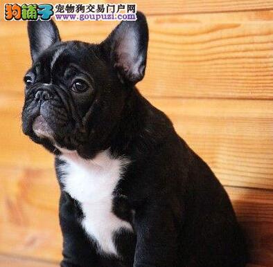 转让自家繁殖的南昌斗牛犬 公母均有多只幼犬供选购