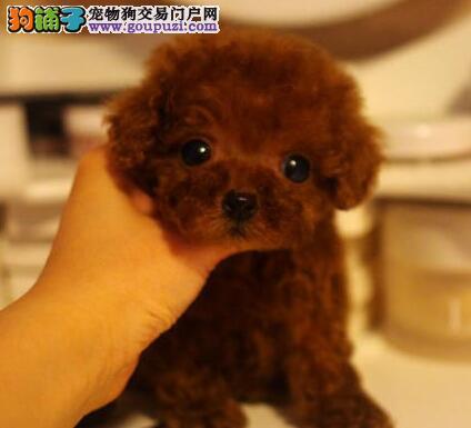 信阳出售优质泰迪犬茶杯犬 保证健康 签订协议