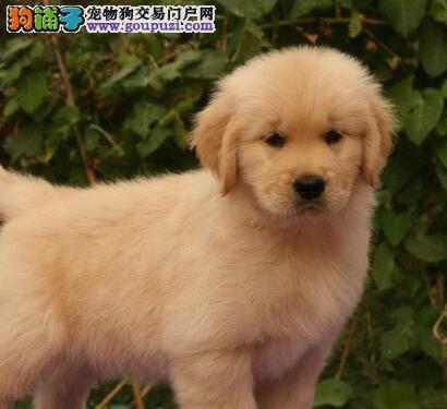 青岛狗场出售顶级金毛犬 毛色好品相好 放心选购