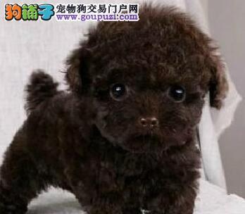 最纯福州泰迪犬低价出售多只可选品质优良