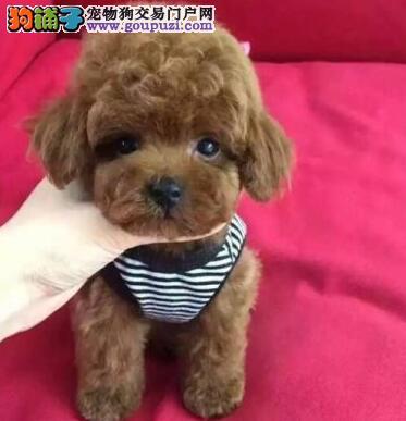 株洲专业繁殖超萌韩系小体泰迪熊宝宝出售 泰迪幼犬