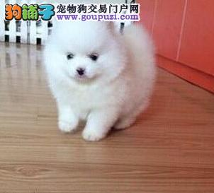 哈多利系博美小松鼠犬昌江县出售疫苗驱虫已做保健康