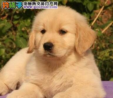 犬舍直销品种纯正健康丽江金毛市内免费送货