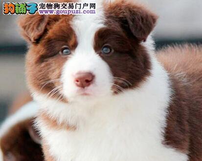 北京繁育边牧犬高端品质边境牧羊犬可签订协议健康
