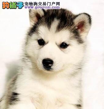 西安市出售哈士奇幼犬 多只可选 公母都有 包纯种健康