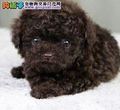 重庆纯种泰迪熊幼犬热售中 签协议送用品可送货上门3