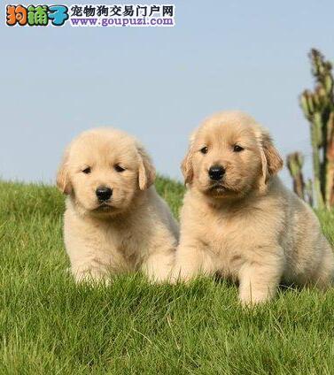 哪里有卖骨骼强壮大头版的苏州金毛幼犬 一分价钱一分货