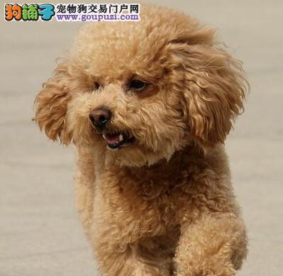 咸阳市出售贵宾犬 公母都有 疫苗齐全 可视频看狗
