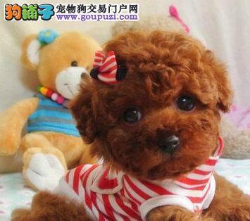 重庆纯种泰迪熊幼犬热售中 签协议送用品可送货上门1