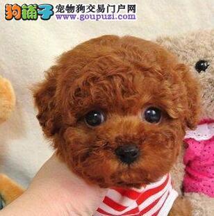 重庆纯种泰迪熊幼犬热售中 签协议送用品可送货上门2