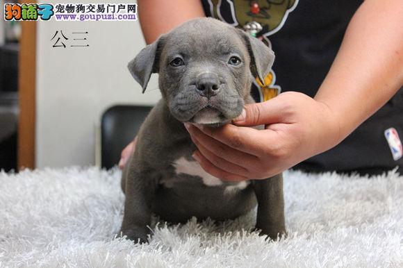 济南出售纯种美国恶霸犬幼犬 品相好品质佳