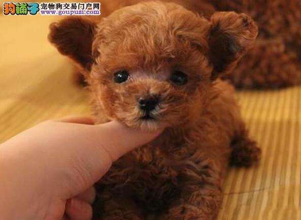 贵阳最专业犬舍出售各色泰迪幼犬 多只幼犬供您选购