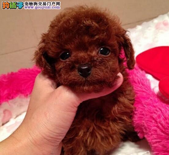 泰迪犬宝宝热销中、真实照片保纯保质、提供养狗指导1