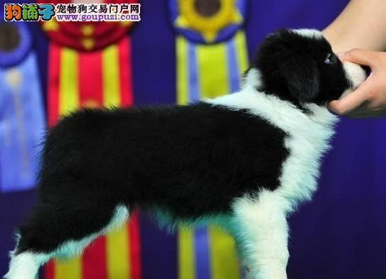 广州售边境牧羊犬 边牧犬疫苗驱虫已做可视频看狗