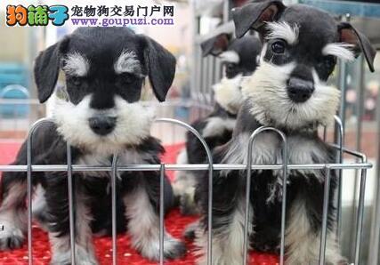 出售高品质雪纳瑞、纯度第一品质第一、购犬可签协议