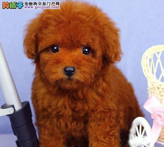 7天就可以纠正泰迪犬挑食的坏习惯