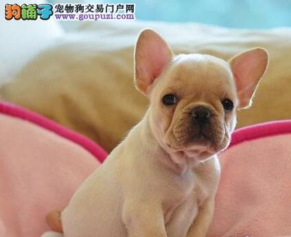 中国高端法国斗牛犬繁育专家出售