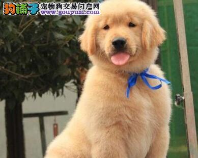 魅力金毛犬出售 郑州黄金色长毛憨态可掬金毛保健康