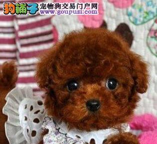 极品韩系血统小体沈阳泰迪犬热销 可签订售后协议书