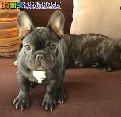 哈尔滨CKU认证犬舍出售高品质法国斗牛犬购犬可签协议