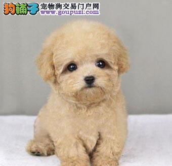云浮专业繁殖纯种泰迪犬 小体娃娃脸 颜色深长不大