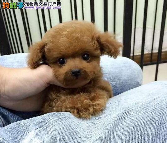 出售极品优秀泰迪犬 韩系血统青岛附近可送上门2