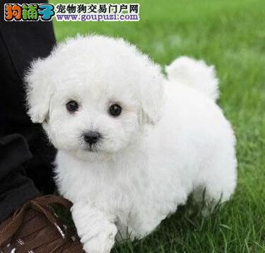 鹤岗诚信经营小体型泰迪幼犬赛级品质签协议售后有保障