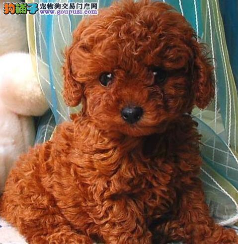 烟台养殖场出售深红色的泰迪犬 建议大家上门看狗选择3