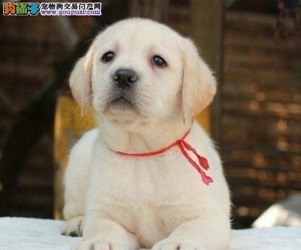 出售大骨架大脑袋好品质的南京拉布拉多犬 签订协议书