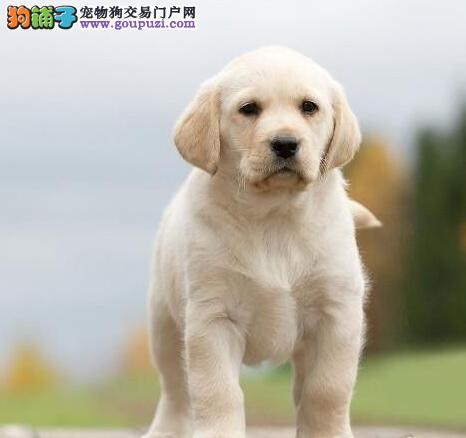 狗场出售纯种拉不拉多狗颜色齐全