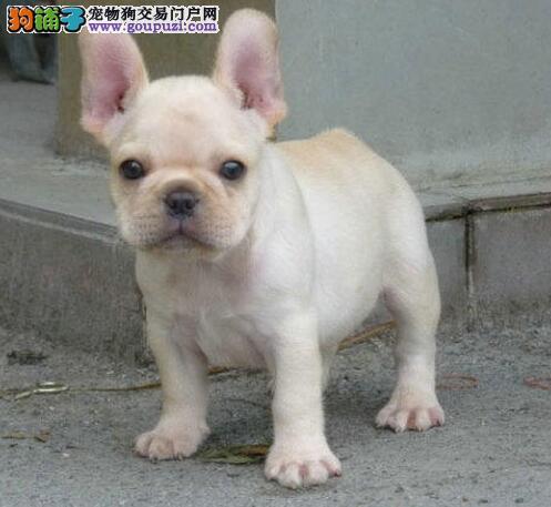 法国斗牛犬幼犬出售中、金牌店铺假一赔十、购买保障售后3