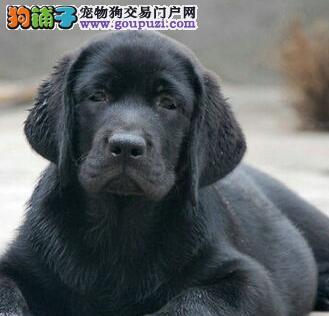 日喀则售高智商拉布拉多幼犬 纯种拉拉犬 神犬小七